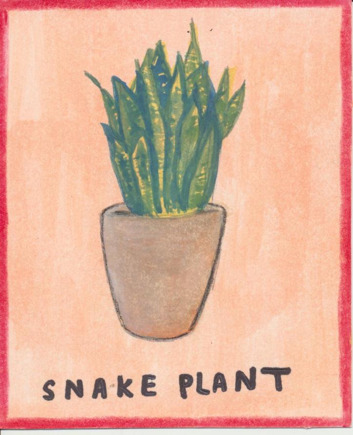 Snake plant 001